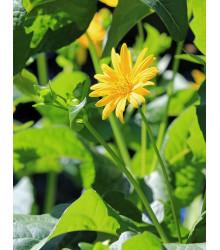 Silfia prerastená - Silphium perfoliatum - predaj semien - 8 ks