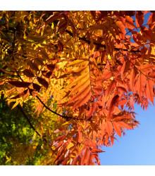 Pistácia čínska - Pistacia chinensis - predaj semien - 5 ks