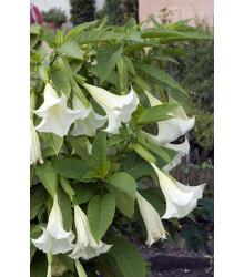 Anjelská trúba biela - Brugmansia suaveolens - predaj semien - 5 ks