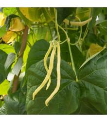 Fazuľa kolíková Neckargold - Phaseolus vulgaris - predaj semien fazule - 15 ks