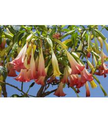Brugmansia ružová - Brugmansia sp - predaj semien - 5 ks