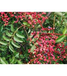Pistácia lentiscus - pistacia lentiscus - Pistacia lentiscus - predaj semien - 6 ks