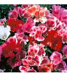 Godécia veľkokvetá - Godetia grandiflora - semienka - 0,1 g