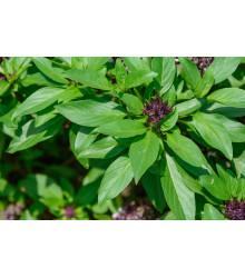 Bazalka Siam Queen - predaj semien bazalky - Ocimum - 0,1 g