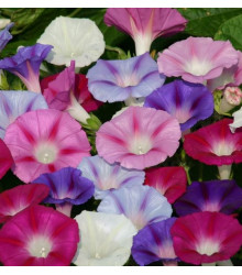 Povojník purpurový zmes farieb - letnička Ipomoea purpurea - 25 ks
