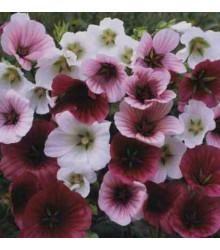 Slézovka trojklanná zmes farieb - Malope Trifid - predaj semien - 30 ks