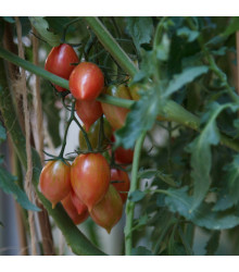 Paradajka Artisan Pink Tiger - Predaj semien paradajok - Lycopersicon esculentum - 5 ks