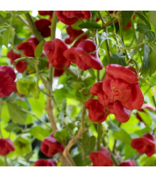 Chilli Bishops Crown - Capsicum baccatum - Predaj semien chilli - 6 ks