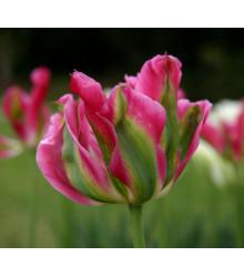 Tulipán Groenland - Predaj tulipánov - Cibuľoviny - 3 ks
