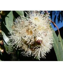 Eukalyptus citrónový - Corymbia citriodora - semiačka - 5 ks