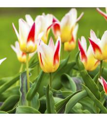 Tulipán Ballade - Cibuľky - 3 ks