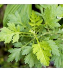 More about Palina ročná - Artemisia annua -semiačka - 0,02 gr