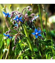 Borák lekársky modrý - Borago officinalis - semiačka - 20 ks