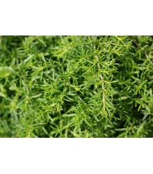 Bio saturejka horská - BIO semiačka - Satureja hortensis - 0,3 g