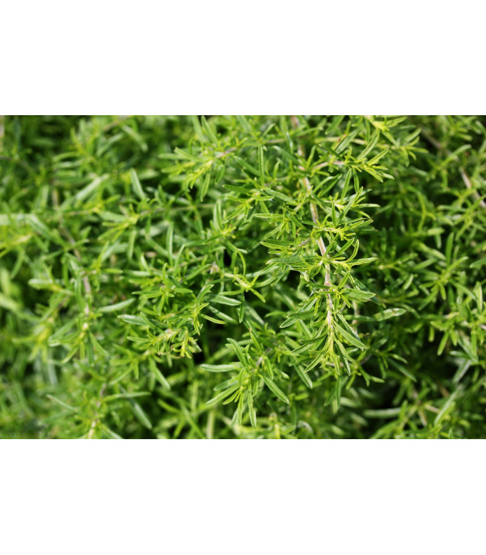 Bio saturejka horská - semiačka - 0,3 gr