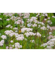 Kozlík lekársky - Valeriana officinalis - semiačka - 0,1 g