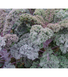 Kel kučeravý Scarlet - červený - Brassica oleracea - Scarlet- semená 150 ks