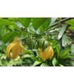 Kananga voňavá - Ylang Ylang - Cananga odorata - semiačka - 4 ks
