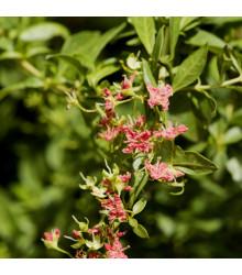 Henna - Lawsonia inermis - semiačka - 4 ks