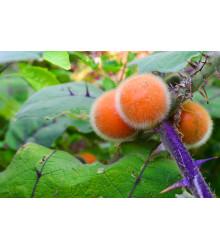 Narančíla - chlpatý pomaranč - semiačka - 5 ks