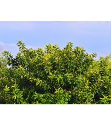 Fikus indický - Ficus benghalensis - semiačka - 5 ks