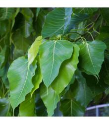 Fikus posvätný - Ficus religiosa - semiačka - 5 ks