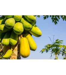 Papája melónová - Carica Papaya - semiačka - 4 ks