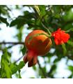 Granátovník - Punica Granatum - semiačka - 5 ks