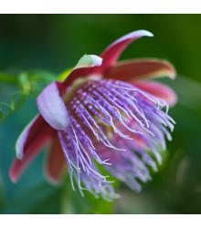Mučenka maliformis - Passiflora maliformis - semiačka - 4 ks