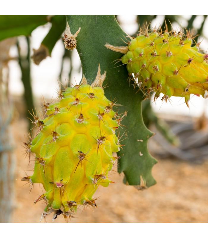 Pithaya žltá - Selenicereus megalanthus - semiačka - 4 ks