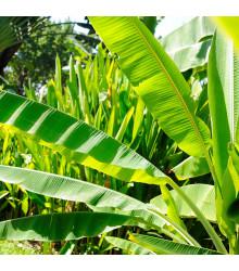 Banánovník Cheesmanii - Musa cheesmanii - semiačka - 3 ks