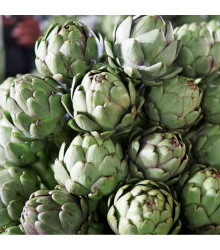 Artičoka Green Globe - Cynara scolymus - semiačka - 20 ks - 1,5 gr