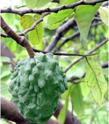 Annona cherimoia - semiačka - 5 ks