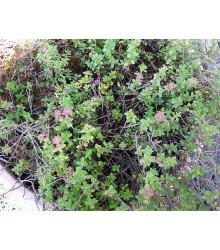 Tymián francúzsky letný - Thymus vulgaris - semiačka - 50 ks