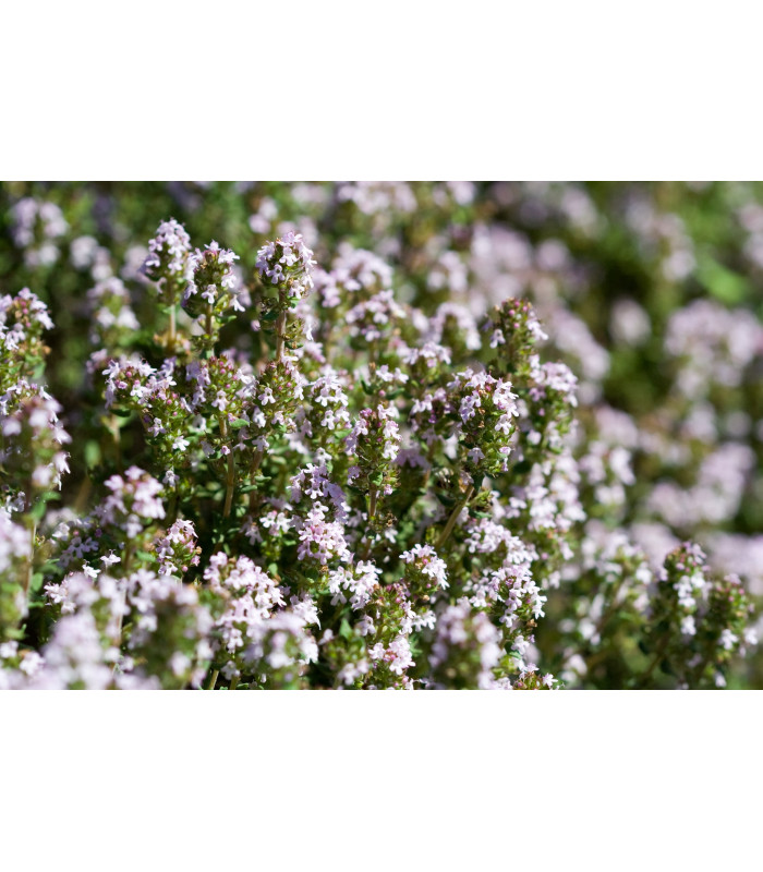 Bio tymián - Thymus vulgaris - semiačka - 0,3 gr