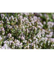 Tymián obyčajný - Thymus vulgaris - semiačka - 0,08 gr