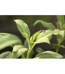 Šalvia biela - Salvia apiana - semiačka - 10 ks