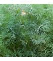 Kôpor voňavý Hanák - Anethum graveolens - semiačka - 1 gr