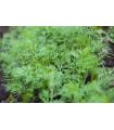 Kôpor Sari - Anethum graveolens - semiačka - 1 gr