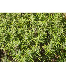Rozmarín lekársky Rosita - Rosmarinus officinalis - semená rozmarínu - 50 ks