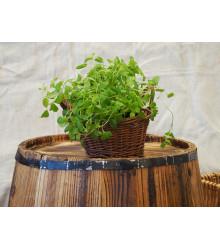Majorán záhradný - Majorana hortensis - semiačka - 0,5 gr