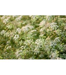 Rasca koreňová - Carum carvi - semiačka - 400 ks