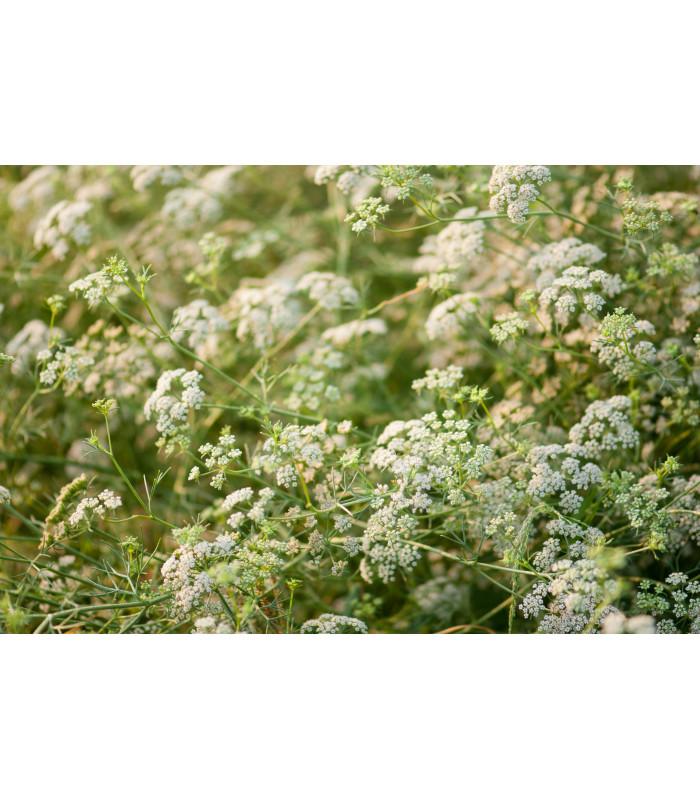 Rasca koreňová - Carum carvi - semiačka - 550 ks