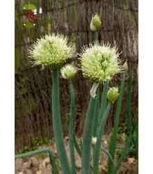 Cibuľa zimná - Allium fistulosum L. - semiačka - 1 gr