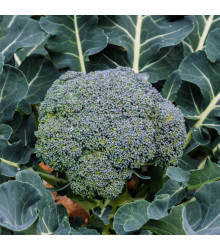 Brokolica Green Magic F1 - Brassica oleracea L. - predaj semien brokolice - 20 ks