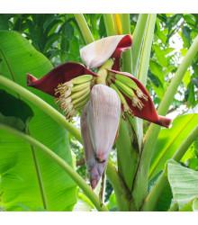 Banánovník - Musa sikkimensis - semiačka - 3 ks