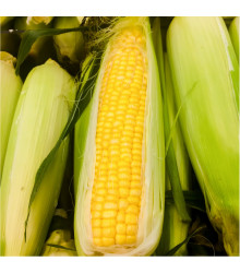Kukurica cukrová Golden bantam - Zea mays - semiačka - 16 ks