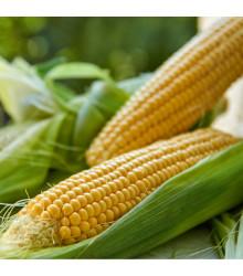 Kukurica siata Tatonka F1 - Zea Mays - semená kukurice - 15 ks