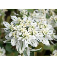 More about Mliečnikovka obrúbená - Sneh na horách - Euphorbia marginata - semiačka - 20 ks