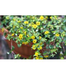 Sanvitália položená - Sanvitalia procumbens - predaj semienok - 0,5 g